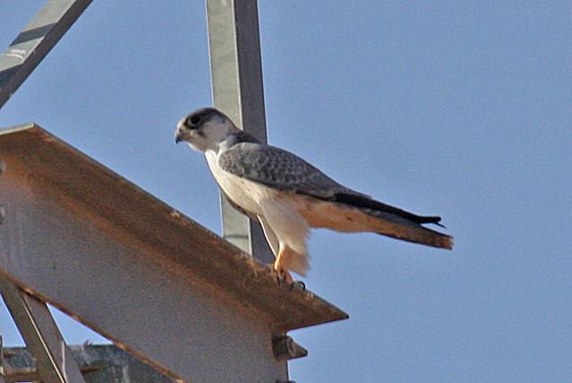 Falconiformes. sub Falconidae - sub fam Falconinae - gênero Falco - Página 2 2098387363_e20da30e29_z