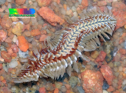 Beautiful fireworm (Chloeia sp.)
