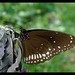 Common Indian Crow(Euploea core asela)
