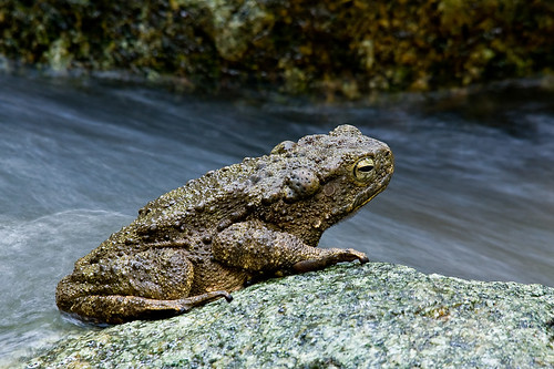 River Toad, <i>Phrynoidis aspera</i> IMG_1236 copy