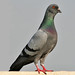 Rock Pigeon - Photo (c) jim gifford, some rights reserved (CC BY-SA)