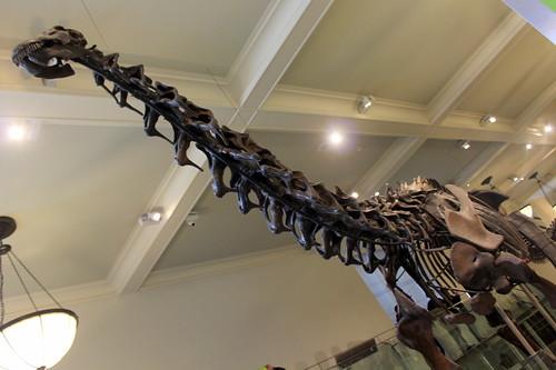 NYC – AMNH: Hall of Saurischian Dinosaurs – Apatosaurus