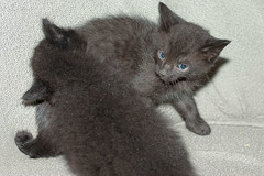 nebelung(0.0), domestic long-haired cat(1.0), animal(1.0), kitten(1.0), british shorthair(1.0), small to medium-sized cats(1.0), pet(1.0), black cat(1.0), chartreux(1.0), cat(1.0), korat(1.0), carnivoran(1.0), whiskers(1.0), russian blue(1.0), domestic short-haired cat(1.0),