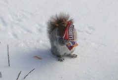 Squirrel Eating a Hershey Bar