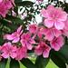 QUARESMEIRA rosa (Tibouchina Granulosa Katleen) family Melastomataceae. parque CERET tatuapé - sao paulo brasil.