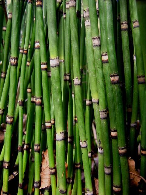 Horsetail reed | Flickr - Photo Sharing! Laura Post