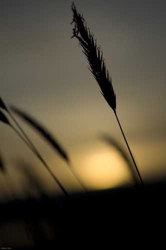 sunset grass dof bokeh