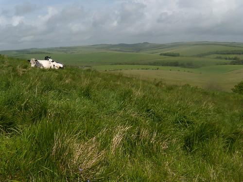 Cows'n'scenery