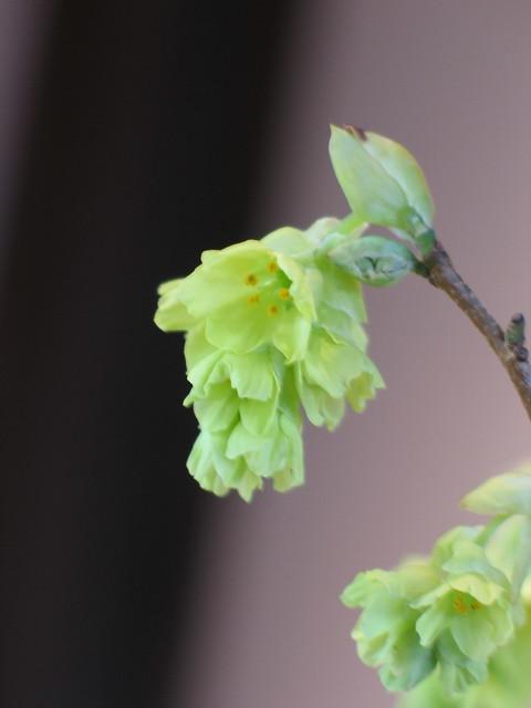 Corylopsis spicata flower detail