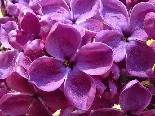 Flieder  -  lilac
