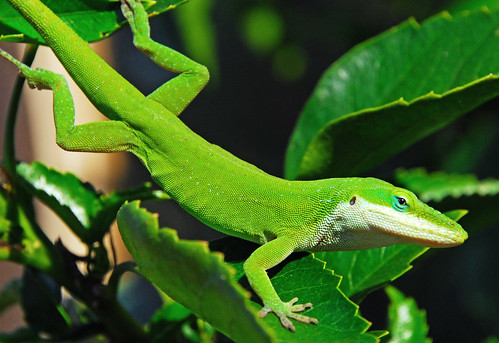 A Portrait of an Anole