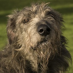 animal sports(0.0), hound(0.0), berger picard(0.0), schnoodle(0.0), scottish deerhound(0.0), spinone italiano(0.0), cesky terrier(0.0), cairn terrier(0.0), bergamasco shepherd(0.0), irish soft-coated wheaten terrier(0.0), dog breed(1.0), animal(1.0), dog(1.0), pumi(1.0), otterhound(1.0), glen of imaal terrier(1.0), vulnerable native breeds(1.0), irish wolfhound(1.0), bouvier des flandres(1.0), catalan sheepdog(1.0), cã£o da serra de aires(1.0), carnivoran(1.0), terrier(1.0),