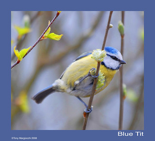A Blue Tit in Spring