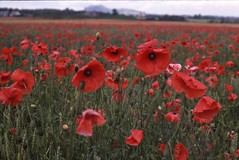 annual plant, prairie, flower, field, red, plant, wildflower, flora, coquelicot, meadow, grassland, petal, poppy,