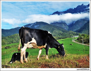 Desa cattle farm kundasang, Desa Dairy Farm - Mesilau Dairy Farm Milk Farm Sabah