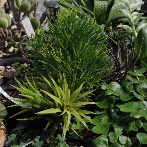 Oxalis pentaphylla, Tillandsia ionantha 'Druid', Tillandsia pruinosa