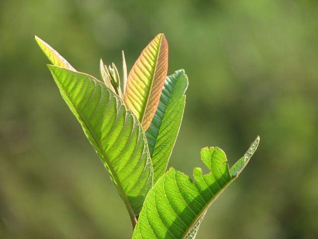 Guava Leaves | Flickr - Photo Sharing!