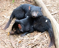 american black bear(0.0), virginia opossum(0.0), common opossum(0.0), wombat(0.0), mink(0.0), animal(1.0), tasmanian devil(1.0), mammal(1.0), fauna(1.0), viverridae(1.0),