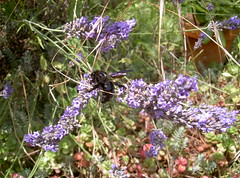 The lavender and the beast - Photo of Audeloncourt