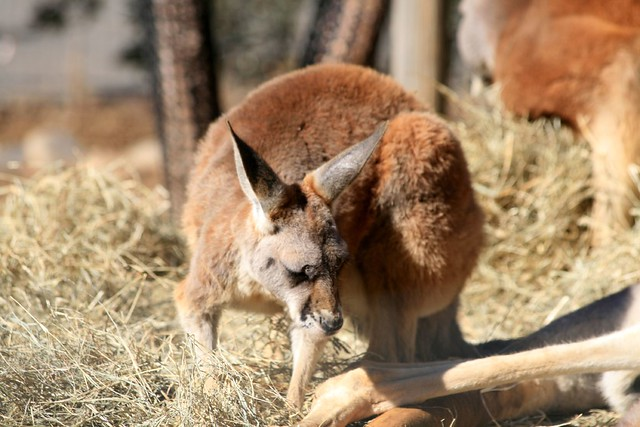 Red Kangaroo Joey   Flickr - Photo Sharing!
