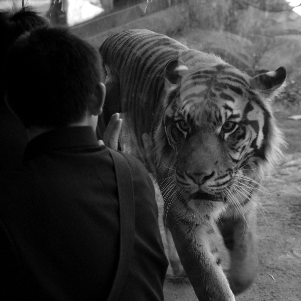 トラと少年
