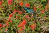 Northern orange-tufted sunbird