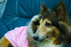puppy(0.0), dog breed(1.0), animal(1.0), dog(1.0), pet(1.0), mammal(1.0), scotch collie(1.0), rough collie(1.0), collie(1.0), shetland sheepdog(1.0),