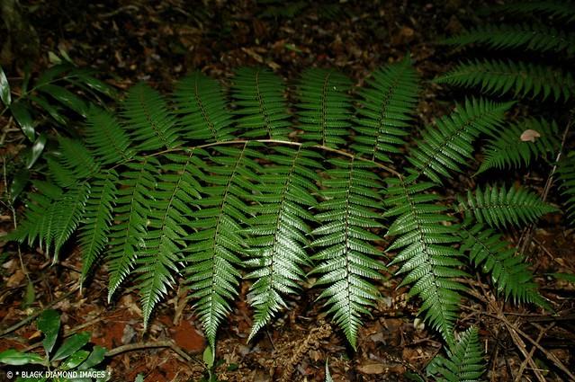 Cyathea leichhardtiana - Prickly Tree-fern, Prickly Tree Fern