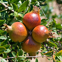 pear(0.0), plant(0.0), produce(0.0), fruit tree(1.0), pomegranate(1.0), branch(1.0), fruit(1.0), food(1.0),
