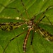 Crane Flies - Photo (c) Rainer Hungershausen, some rights reserved (CC BY-NC-ND)