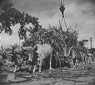 Bueyes, caña de azúcar, 1941 | Flickr - Photo Sharing!