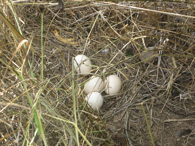 Wild Peahen nest and eggs | Flickr - Photo Sharing!