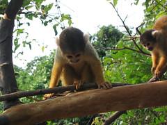 animal(1.0), rainforest(1.0), monkey(1.0), mammal(1.0), squirrel monkey(1.0), fauna(1.0), new world monkey(1.0), jungle(1.0), wildlife(1.0),