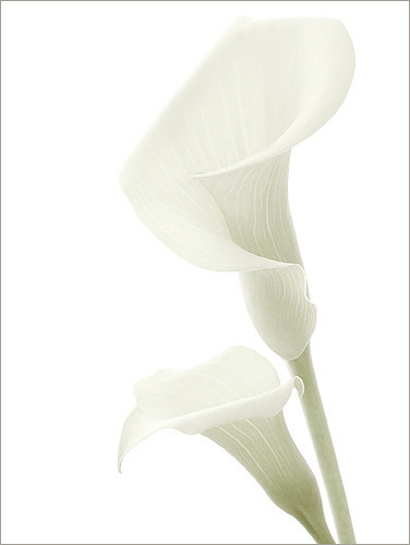 / Calla Lily / calla / lily / white / on white background / - white on white with a touch of green  - DSCN5268