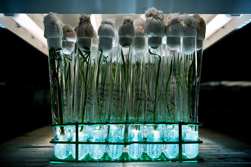 Rice Plants being Propagated usingTissue Culture