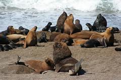 Peninsule Valdes - Lions de mer