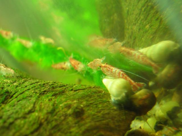 Cherry shrimp eat algae flickr photo sharing for Red algae in fish tank