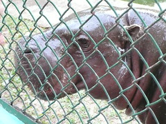 Hippo Face behind the Fence