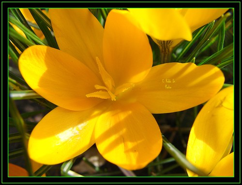 friends nature crocus picnik naturesbest macrofocus fantasticflower superbmasterpiece