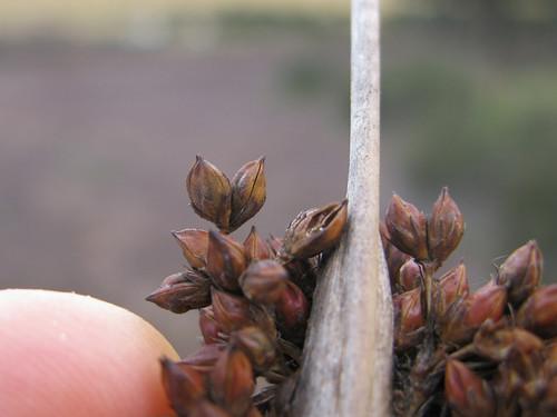 Juncus acutus flower NC1