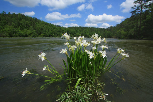 hymenocallis coronaria, cahaba river, hargrove shoals, cahaba national wildlife refuge, bibb county, alabama 2