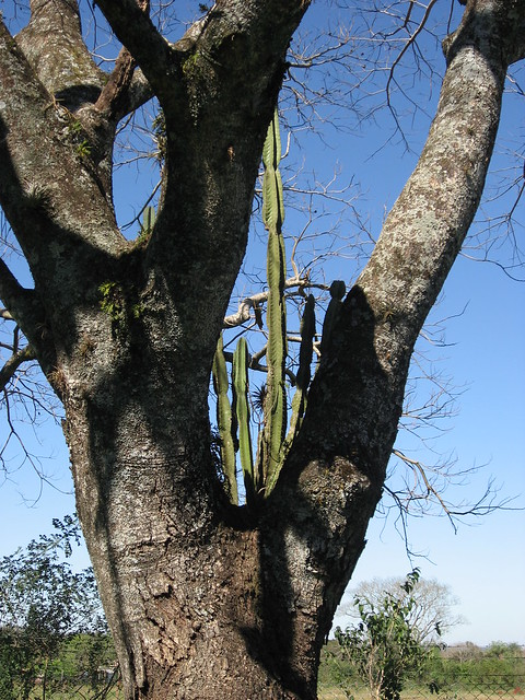 Cactus growing out of a tree.