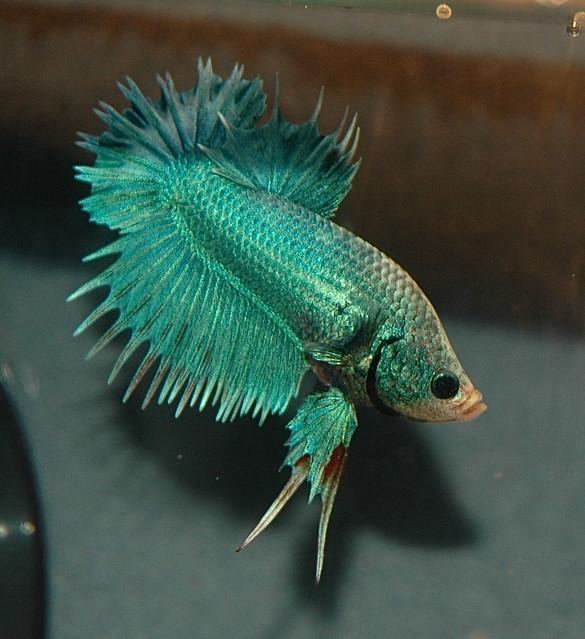 Ctpk multi m betta online flickr photo sharing for Betta fish game