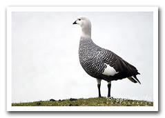 cauquén común / upland goose