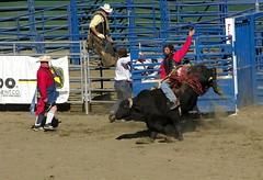animal sports, rodeo, cattle-like mammal, bull, event, tradition, sports, bull riding,