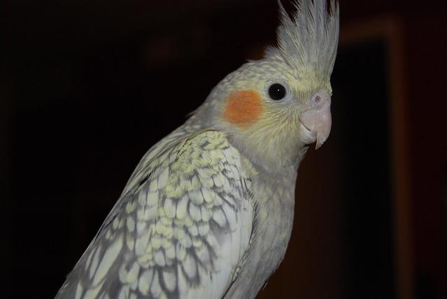 Pearl Cockatiel Male Or Female 9