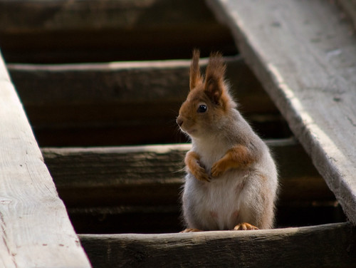 cute female stairs pose helsinki squirrel iso400 orava paws sciurusvulgaris sqrl eartufts eurasianredsquirrel kurre canonef90300mmf4556usm exploremay222008430 notsharpenoughwhenactualpixelsview