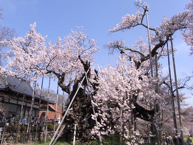 Yamataka Jindai Sakura 山高神代桜