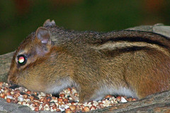 animal, squirrel, rodent, fauna, chipmunk, whiskers,
