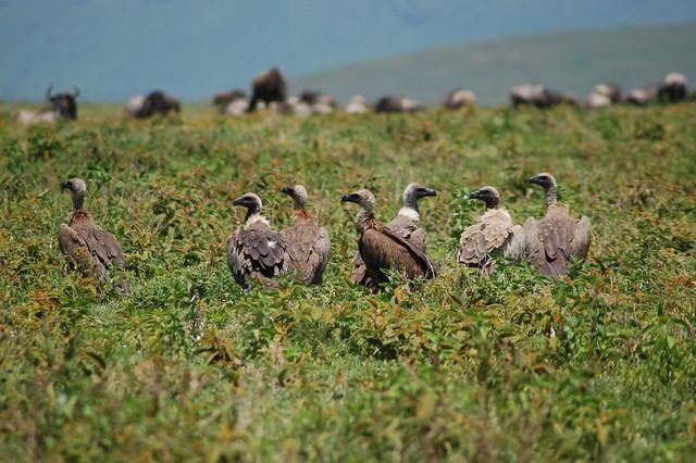 Buitres en el cráter del Ngorongoro, Tanzania.
